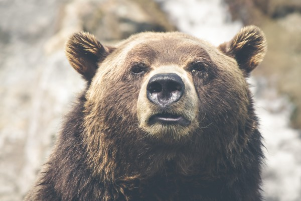 kodiak bear face close up
