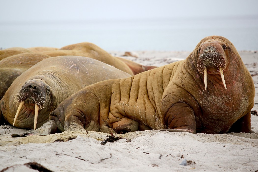 walruses with big tusks on the beach