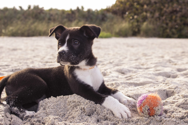 puppy on the beach with a tennis ball